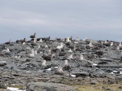 Agrotóxicos ameaçam colônias de aves da Antártica Estudo identifica contaminantes orgânicos no sangue de petréis-gigantes (Foto: Colônia de petréis gigantes na ilha Elefante, no arquipélago das Shetland do Sul, na Península Antártica/Fernanda Imperatrice Colabuono)