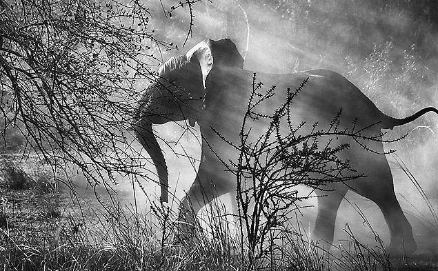 Elefante corre ao ouvir carro se aproximar, na Zâmbia