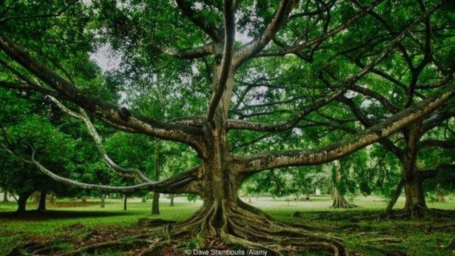 A imponente Ficus religiosa