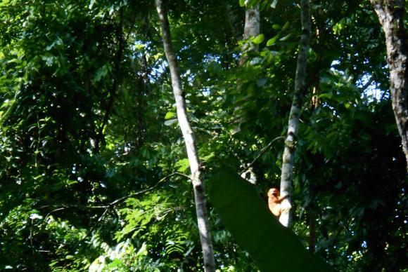 Mico-leão-dourado avistado por pesquisadores na Reserva Biológica Fiocruz Mata Atlântica, na cidade do Rio de JaneiroImagem de divulgação/Fiocruz/direitos reservados