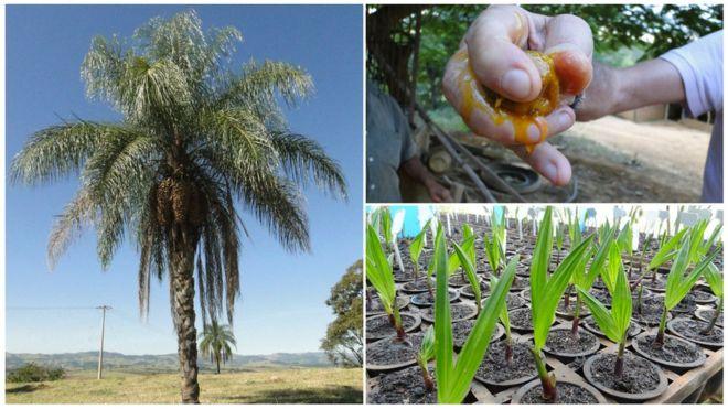 Palmeira, fruto e viveiro de mudas de macaúba: potencial de espécie nativa anima pesquisadores pelo país