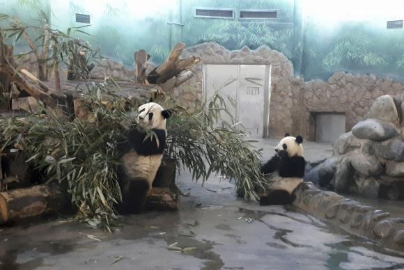 Pandas de 2 anos se refugiam do calor em instalações com ar condicionado na Base de Pesquisa e Reprodução dos Pandas Gigantes de Chengdu, capital da província de Sichuan Ana Cristina Campos/Agência Brasil