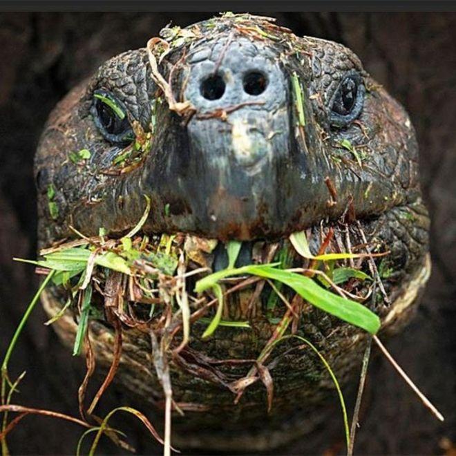 Cientistas querem monitorar os passos das tartarugas gigantes de Galápagos